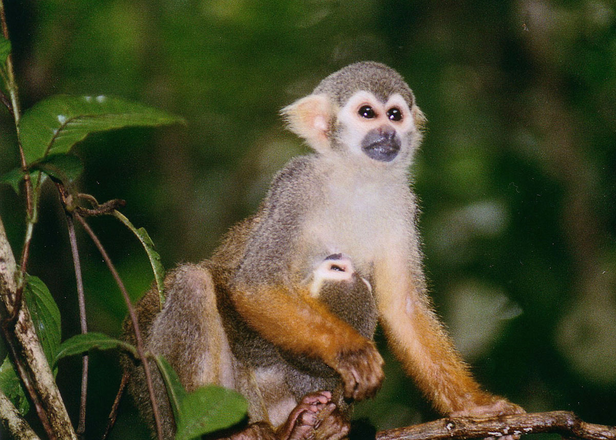 So You Want A Pet Squirrel Monkey Nrdc