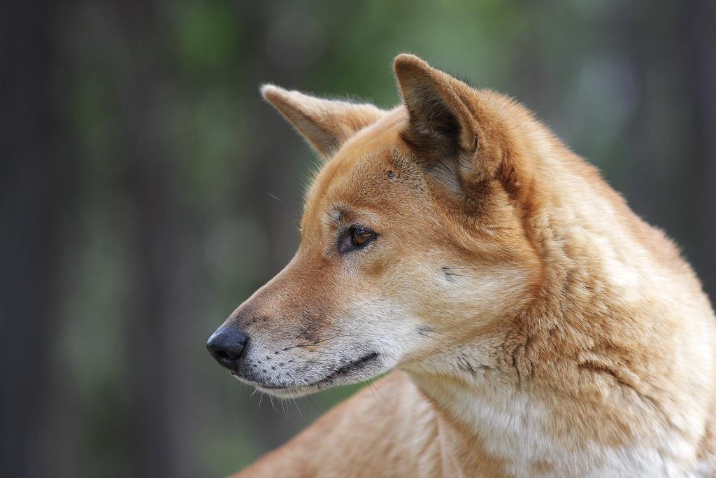 A Dingo Ate My Bunny Nrdc