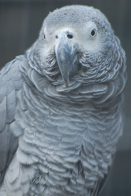 African grey (by Eric Kilby)