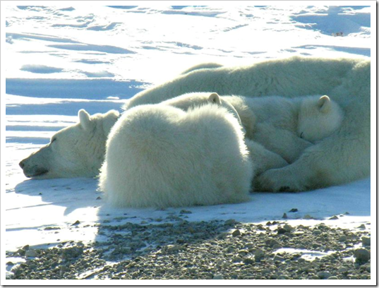 Polar bear mother & two cubs (photo taken by Ansgar Walk)