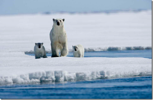 A polar bear with two cubs, via creative commons (phot by allatok)