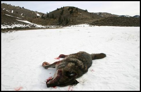 wolf shot illegally in Idaho