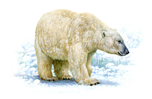 Polar bear (Tim Knepp, USFWS)