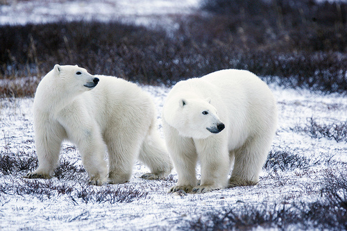 polar bear (USFWS, Photo by G Kramer)