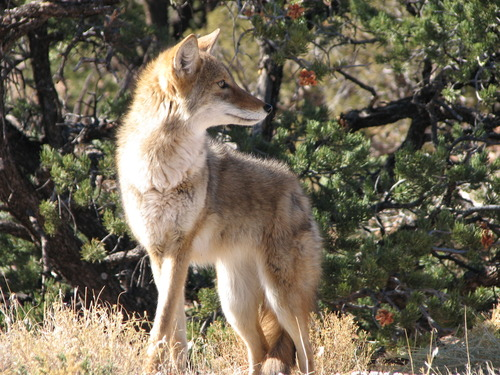 Thumbnail image for coyote (National Park Service, photo by Sarah Stio).jpg