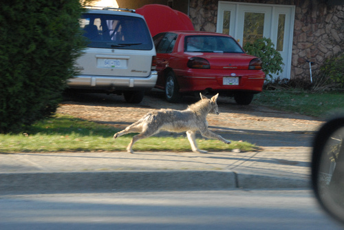 urban coyote (photo by Rob John MacKenzie via flickr)