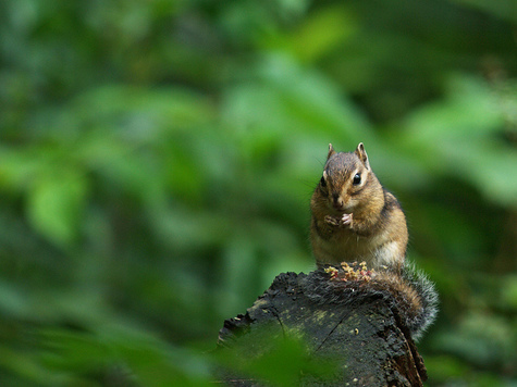 chipmunk (Frank Vassen) (creative commons)