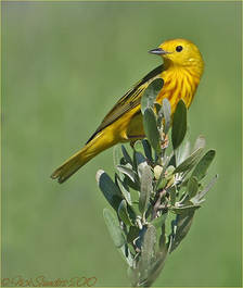 Thumbnail image for Thumbnail image for Yellow Warbler_Nick Saunders.jpeg