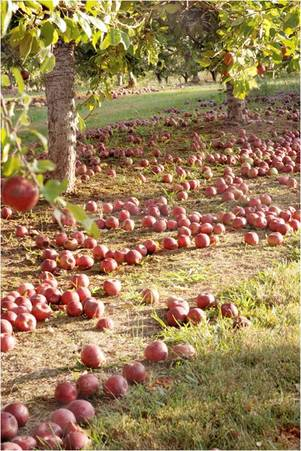 apple farm.jpg