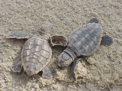 Loggerhead_Sea_Turtle_Hatchlings.jpg
