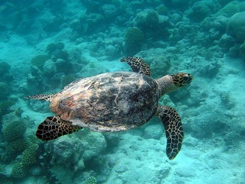 Turtle_in_the_Marine_Protected_Area_(7029059407).Wiki.Commons.jpg