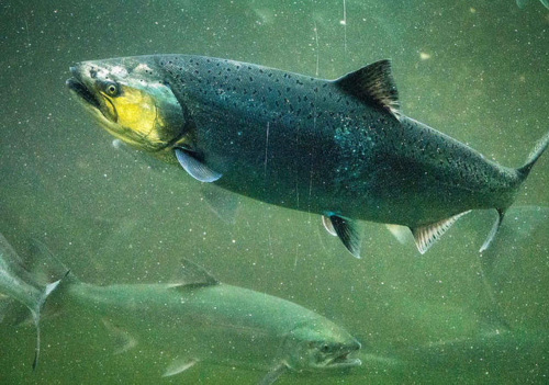 IMAGE_Chinook_Salmon_Credit Ingrid Taylar Flickr - Copy.png