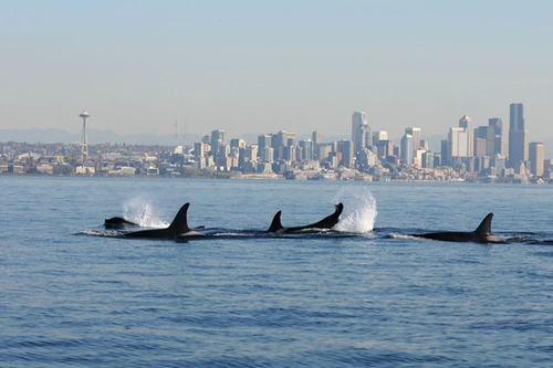 IMAGE_orca and seattle skyline_credit NOAA.jpg