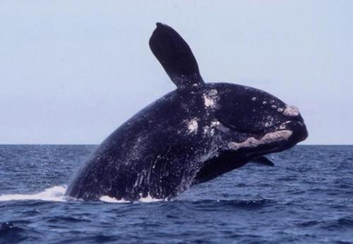 Right Whale.jpg