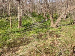 Wetland near Piney Branch in Fairfax County VA.JPG