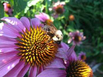 Bee on coneflower by Mel Peffers.jpg