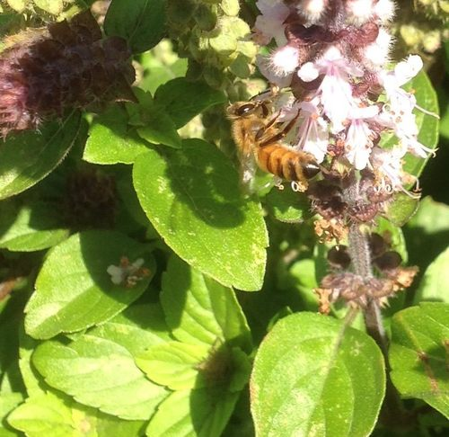 Bee on Basil Mel Peffers.jpg