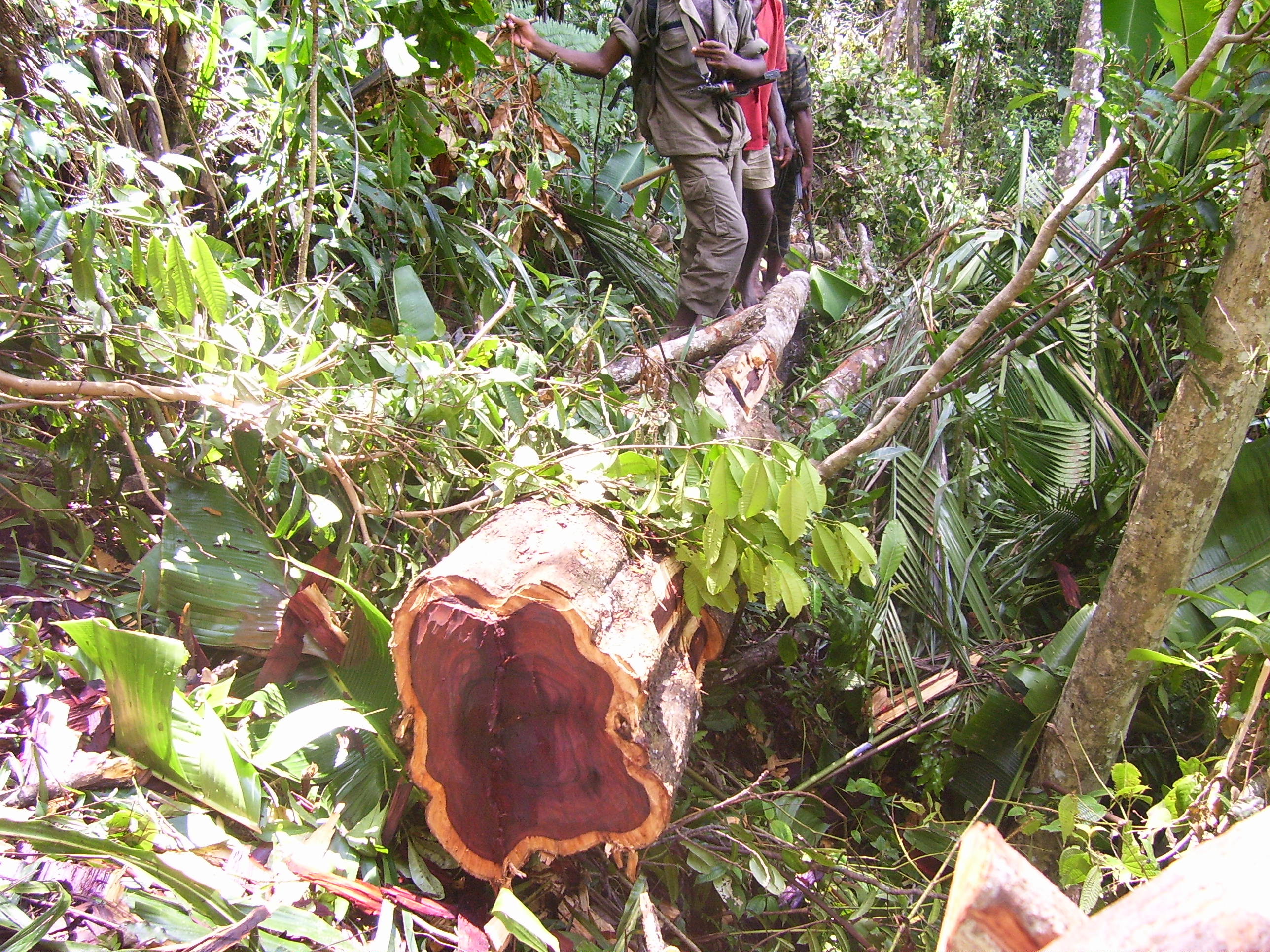 Rosewood logging in Madagascar during the 2009 military coup