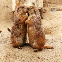 256px-Kissing_Prairie_dog_edit_3.jpg