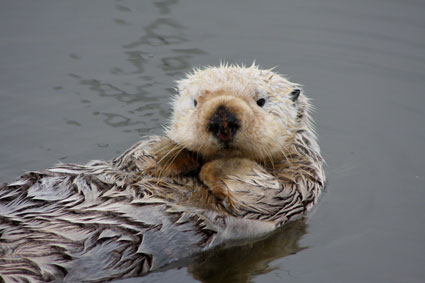 California sea otter (credit NOAA Fisheries)