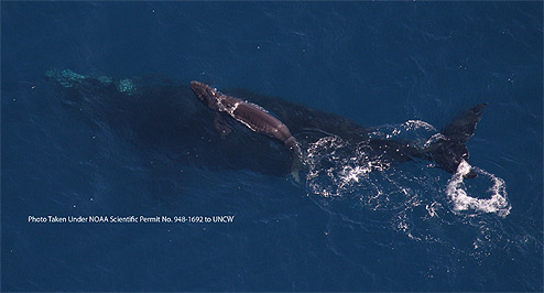 Endangered North Atlantic right whale and newborn calf