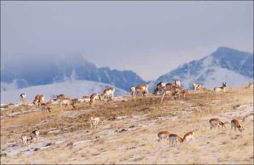 pronghorn-below-wind-rivers.jpg