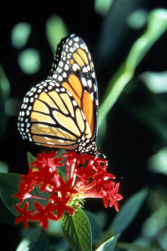 Thumbnail image for Thumbnail image for monarch_floridatourism.jpg