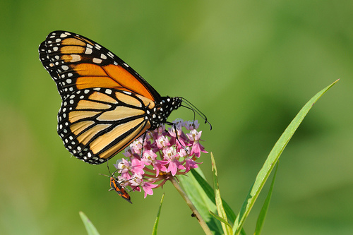 monarchonmilkweed_flickr_021015.jpg