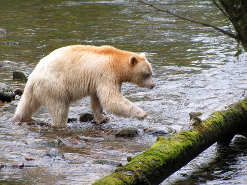 Spirit Bear fishing Sept 2011 credit Valerie Langer.jpg