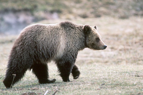 Kim Keating YNP bear.jpg