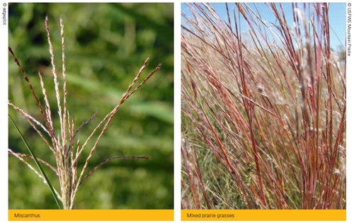 miscanthus.png