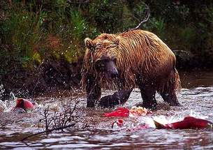 Thumbnail image for Pool 32 Bear with Salmon.jpg