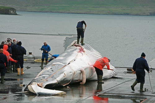 Thumbnail image for fin whale butchering.jpg