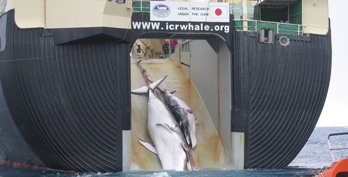 Thumbnail image for Japanese whaling - mom and calf, wikipedia cropped 2.jpg