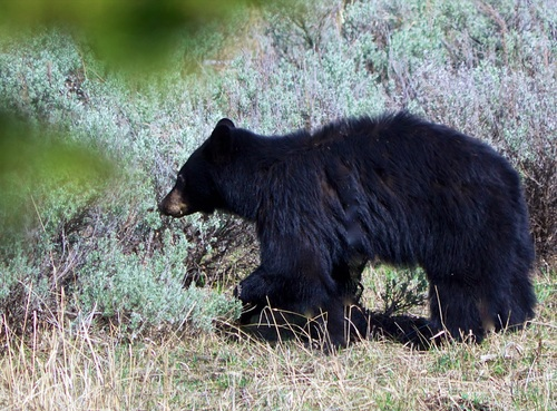 Black bear cropped.jpg