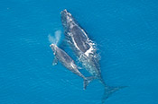 Endangered North Atlantic right whales
