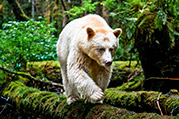 photo of a spirit bear