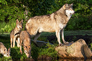 photo of a wolf and pups