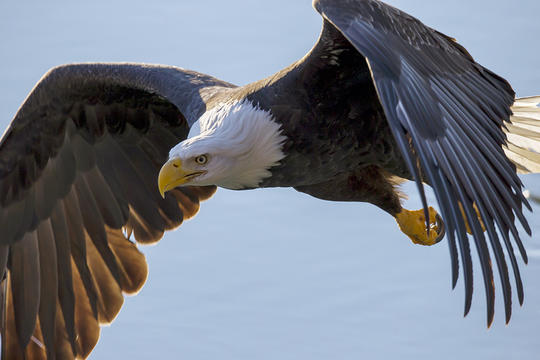 the reasons why the bald eagle has become an endangered species Faunalytics provides in-depth research and interesting facts about endangered and threatened species to help advocates and others protect these animals.