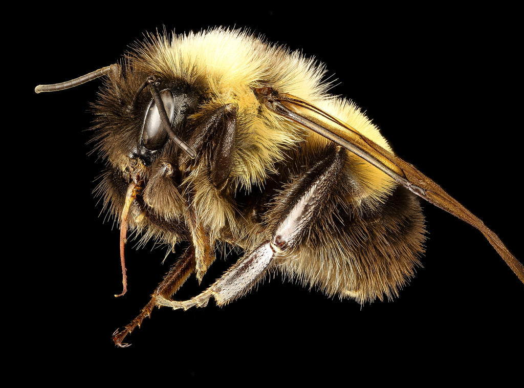 The Rusty Patched Bumble Bee