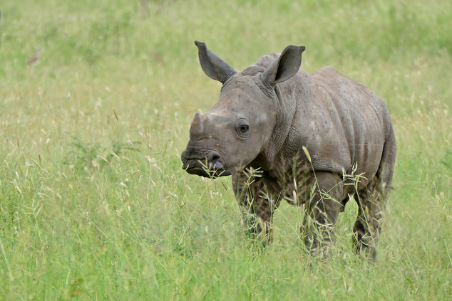 South Africa poised to legalise rhino horn trade