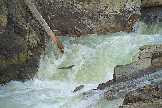 Salmon in river