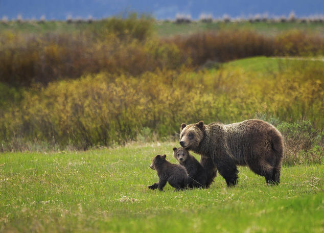 Wyoming Farm Bureau Federation statement on grizzly bear delisting
