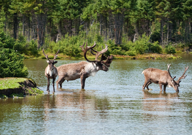 Woodland Caribou in River