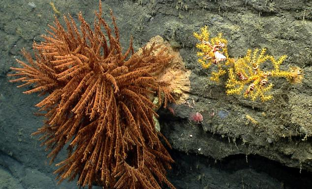 Corals in Oceanographer Canyon.