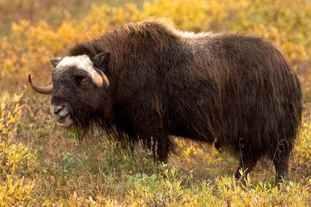 an introduction to the history of the arctic national wildlife refuge Alaska's arctic national wildlife refuge is home to a variety of wildlife, including muskox, caribou and polar bears  the arctic refuge holds a special place in american conservation history .