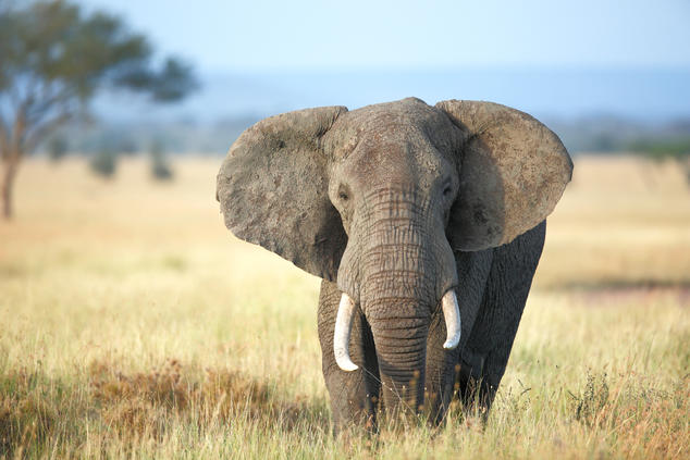 Status Check for African Elephants