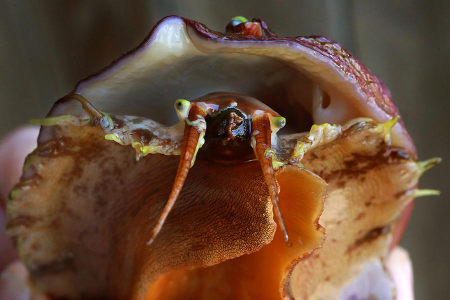 To Save This Tasty Sea Snail, We Must First Figure Out What Turns It On