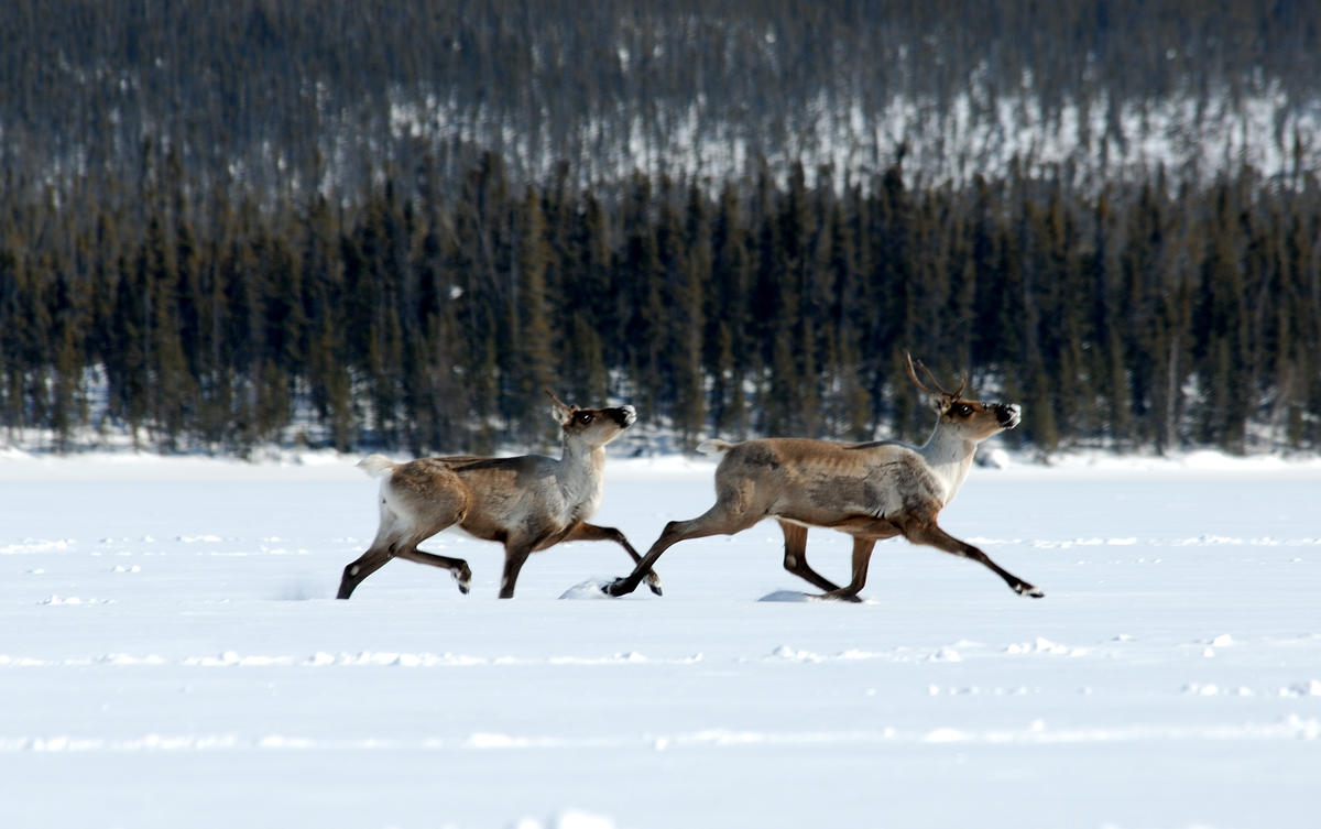 Climate and Caribou: Canadian Boreal Protection Helps Both ...