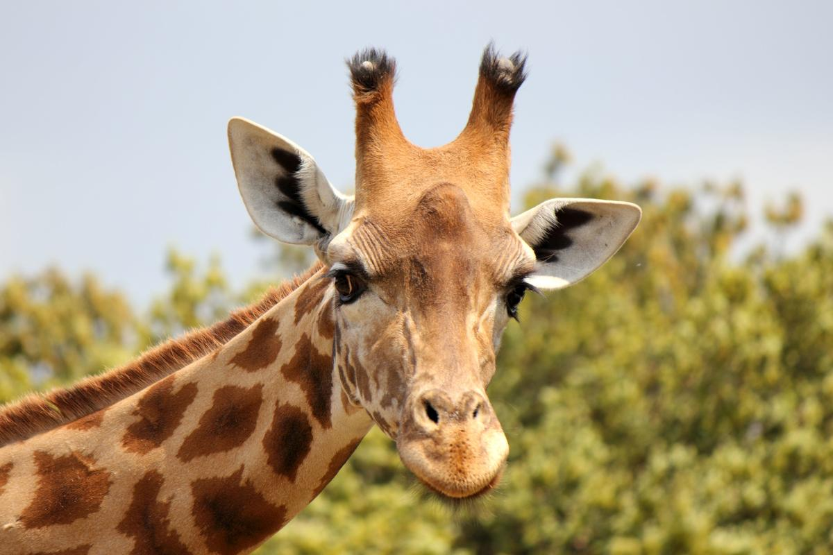 Endangered Species Act Could Prevent Giraffes Extinction NRDC